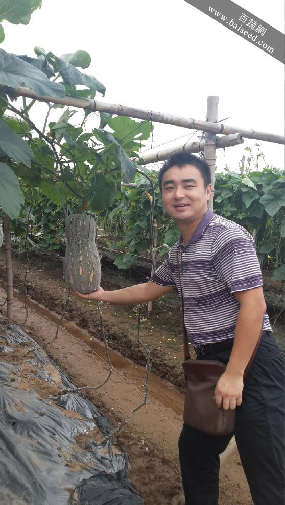 广东粤蔬 蜜本3号南瓜种子 广东农科院选育  早中熟 抗逆性强 耐贮运 南瓜种子 10克装